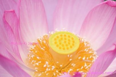 lotusmunay.jpg